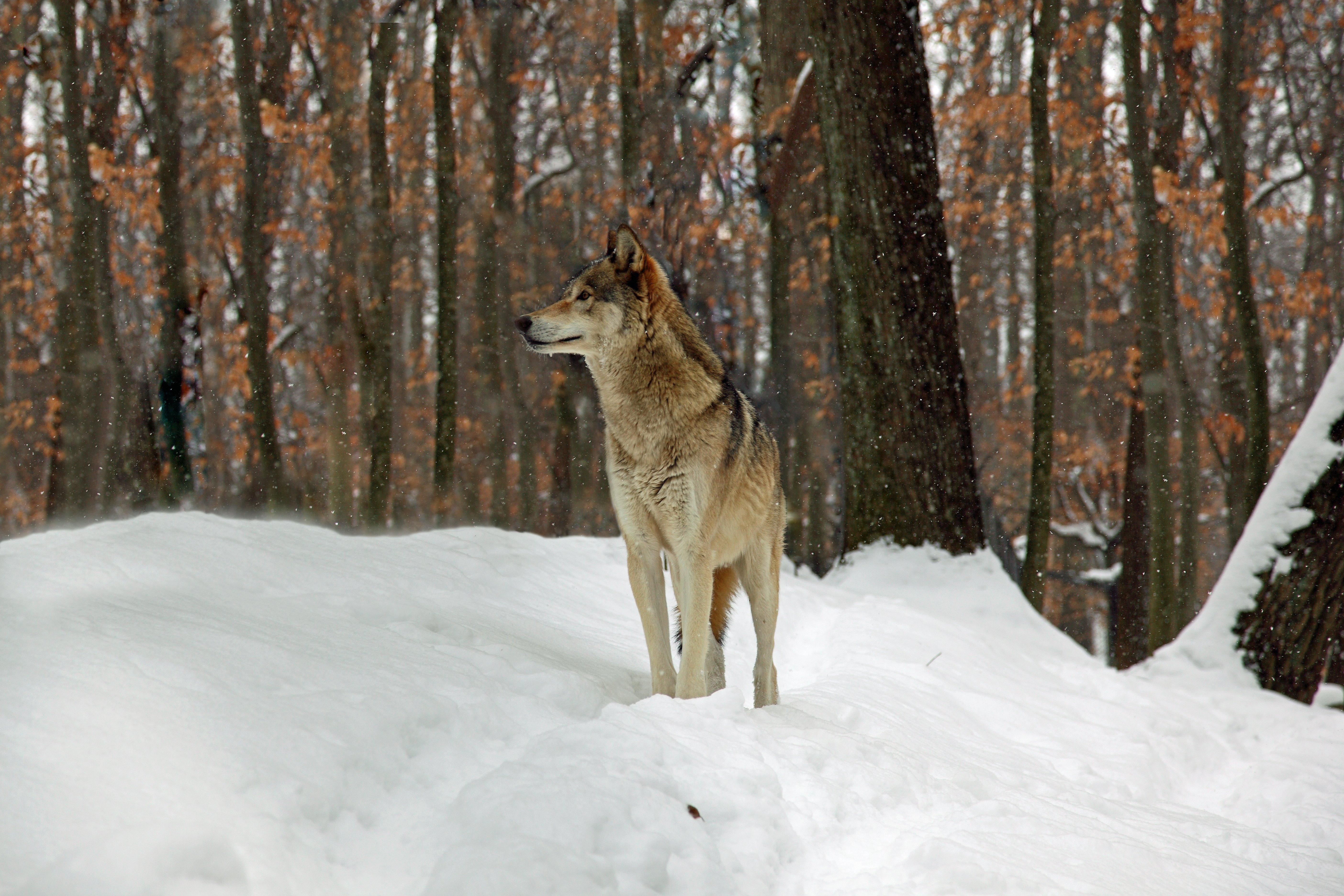 File:Timber-wolf - West Virginia - ForestWander.jpg ...
