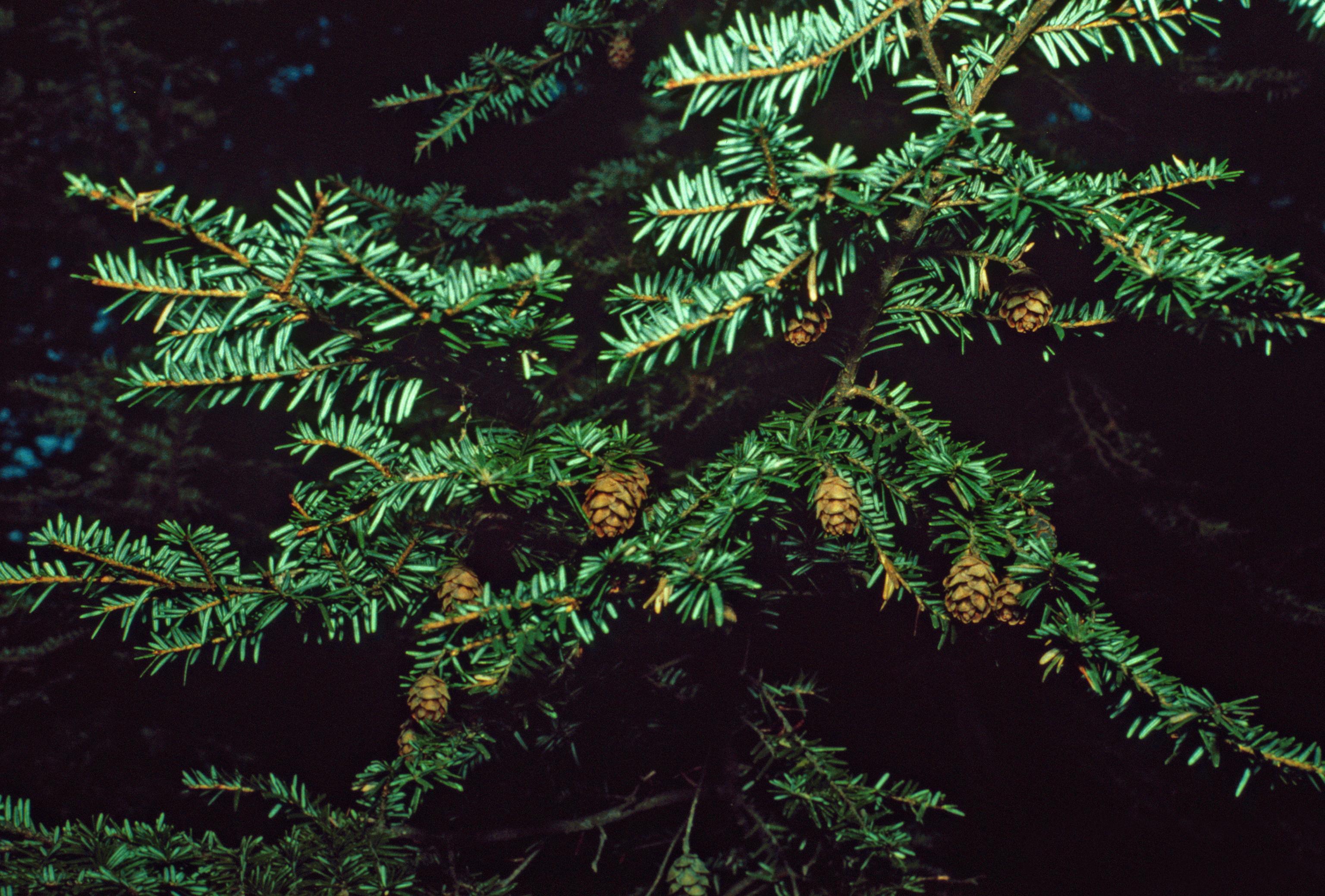 Description tsuga canadensis foliage cones
