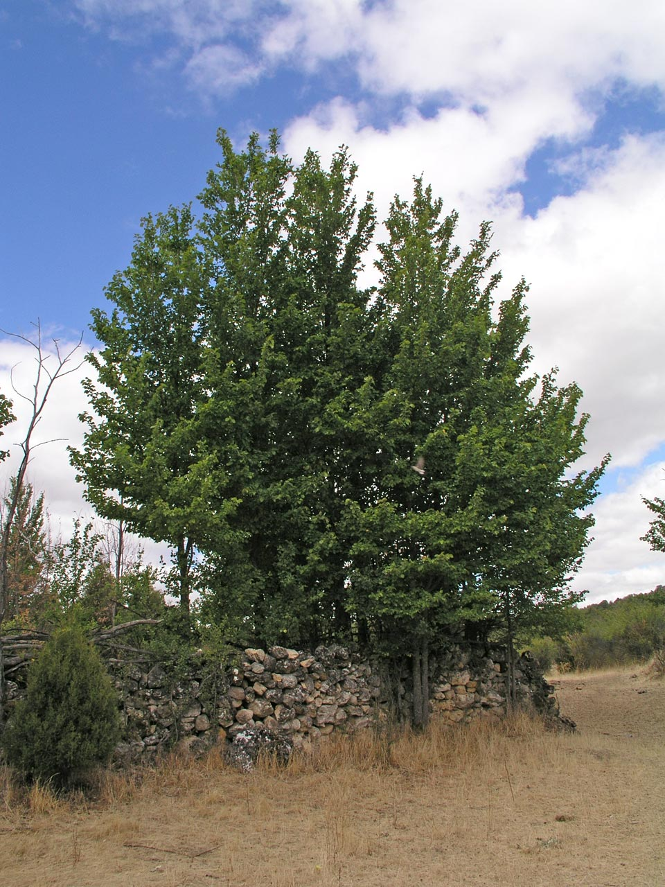 external image Ulmus-minor-1.jpg