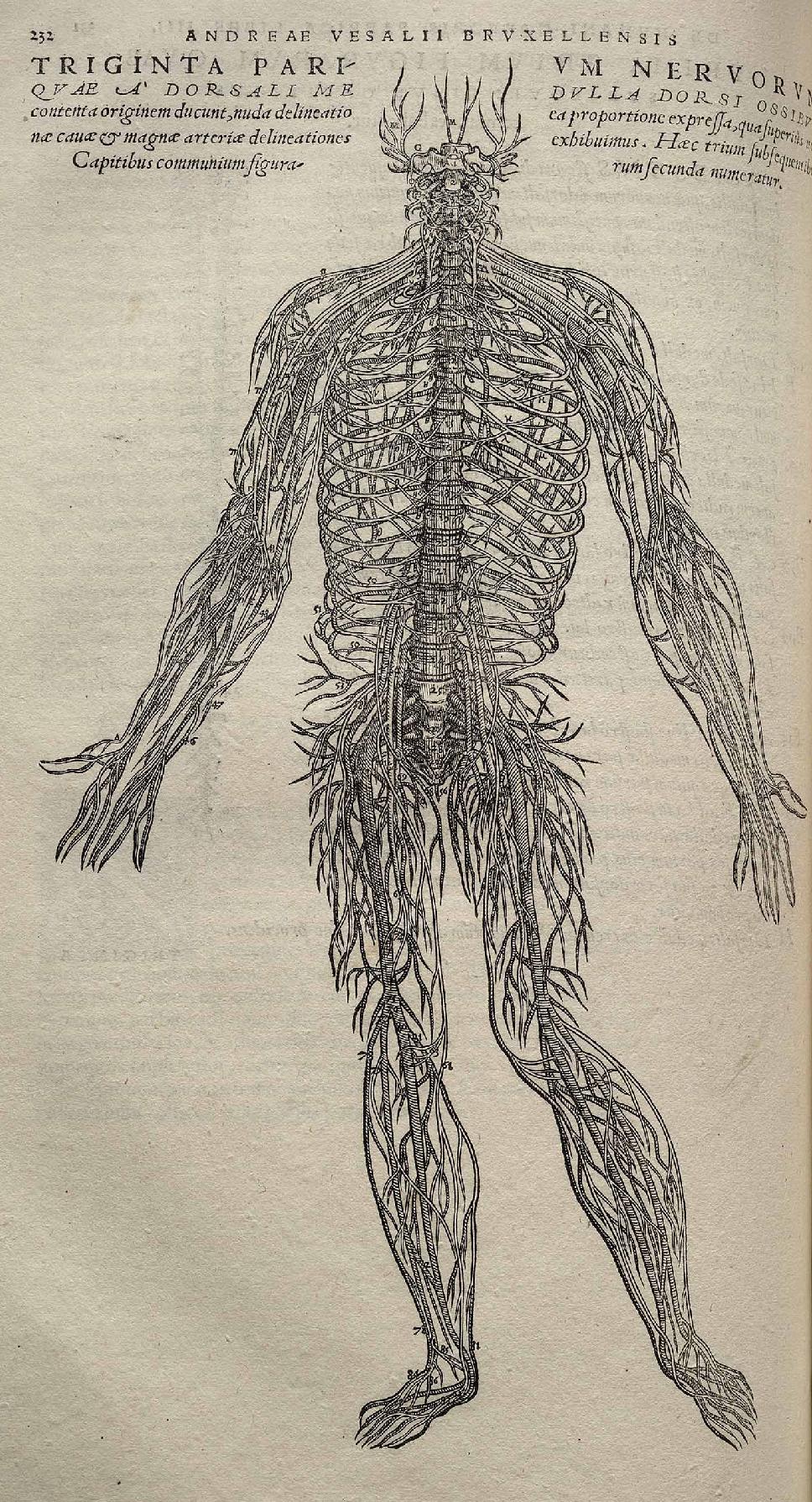 Peripheres Nervensystem – Wikipedia