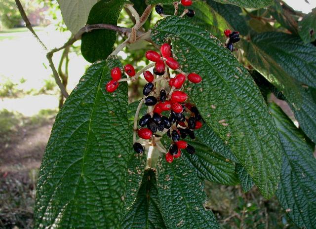 rynkeblad viburnum rhytidophyllum