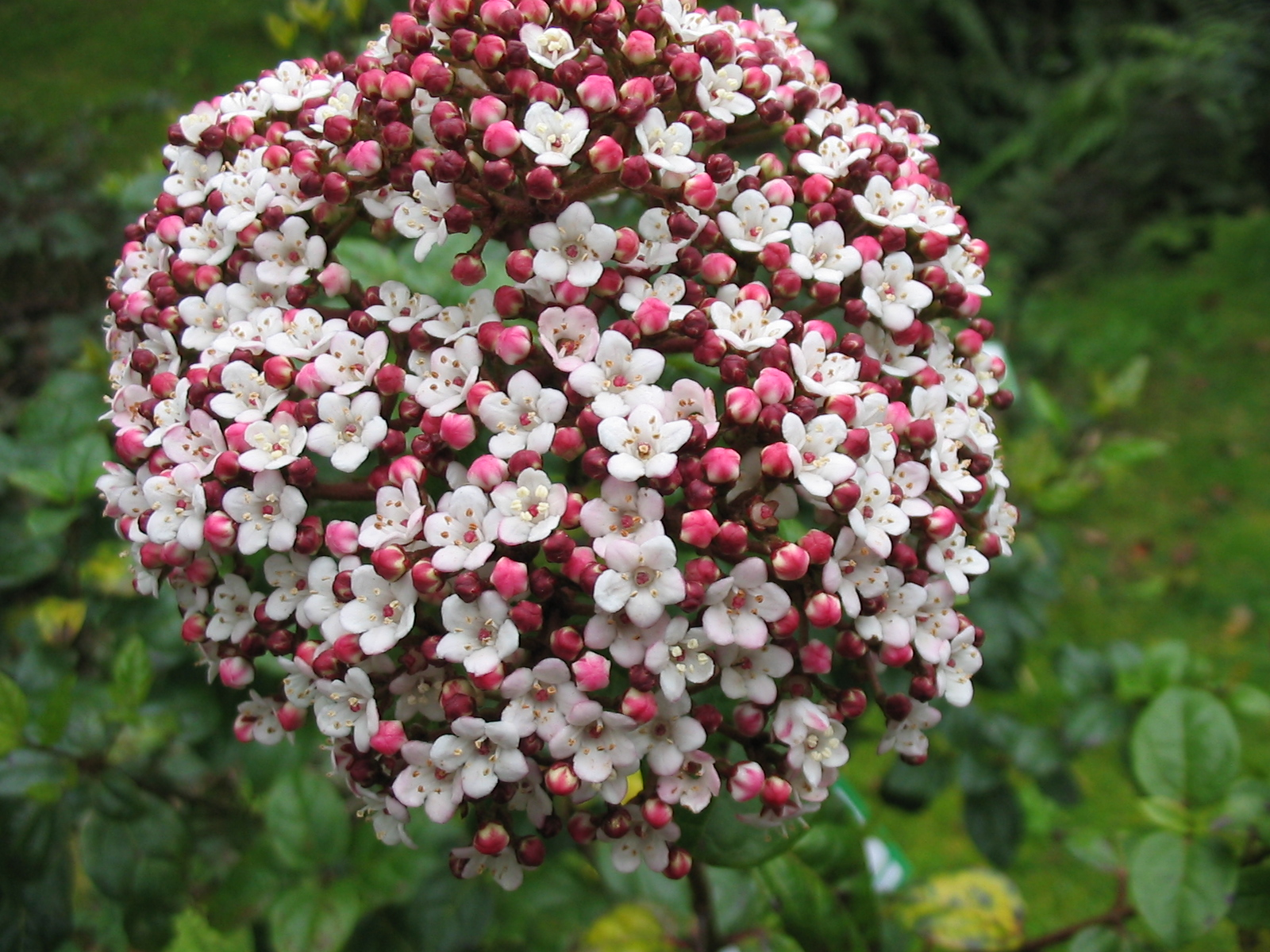 file viburnum tinus spp subcordatum flower jpg. Black Bedroom Furniture Sets. Home Design Ideas