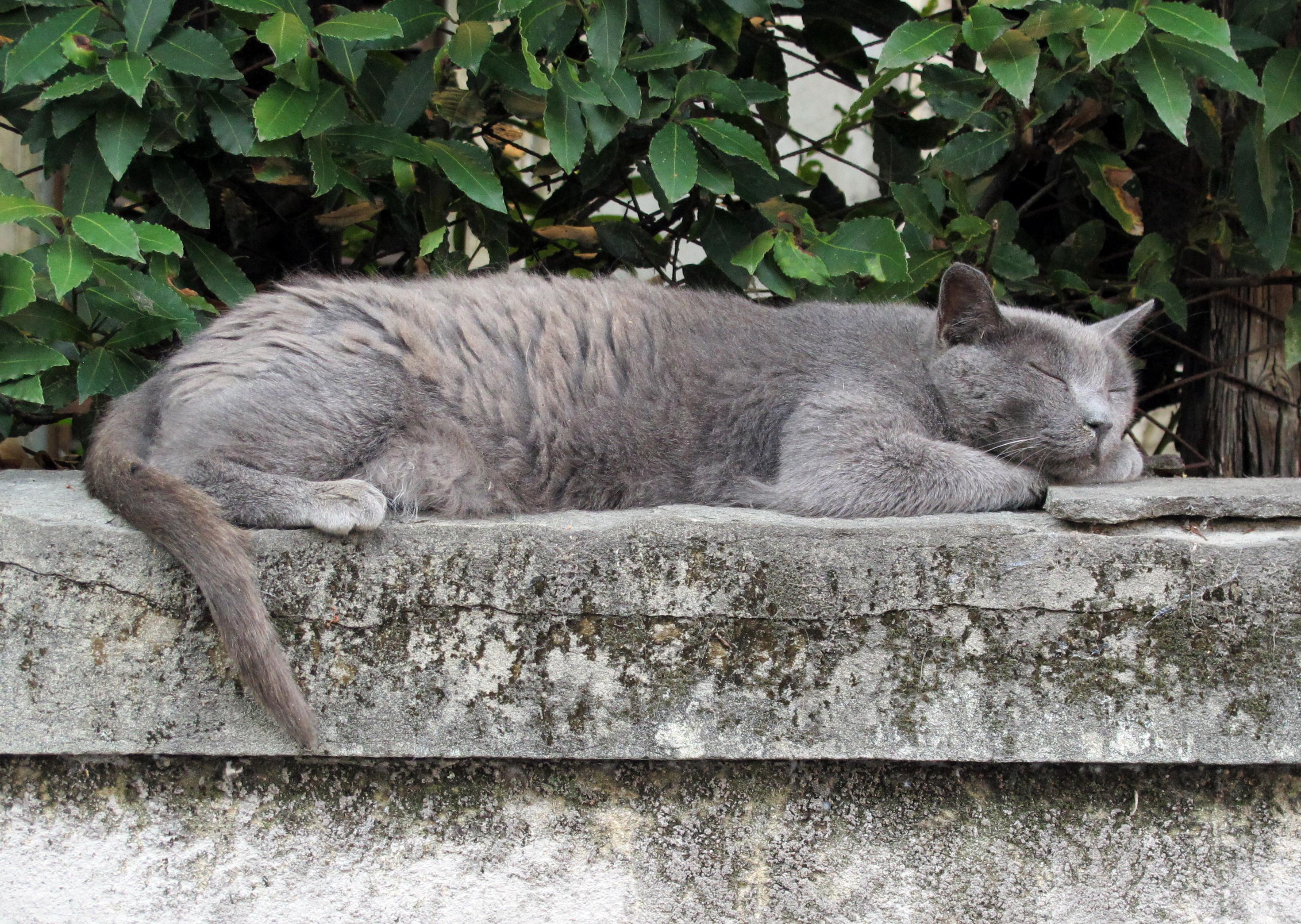 Filevillino Coppini Fi Gatto Che Dormejpg Wikimedia Commons