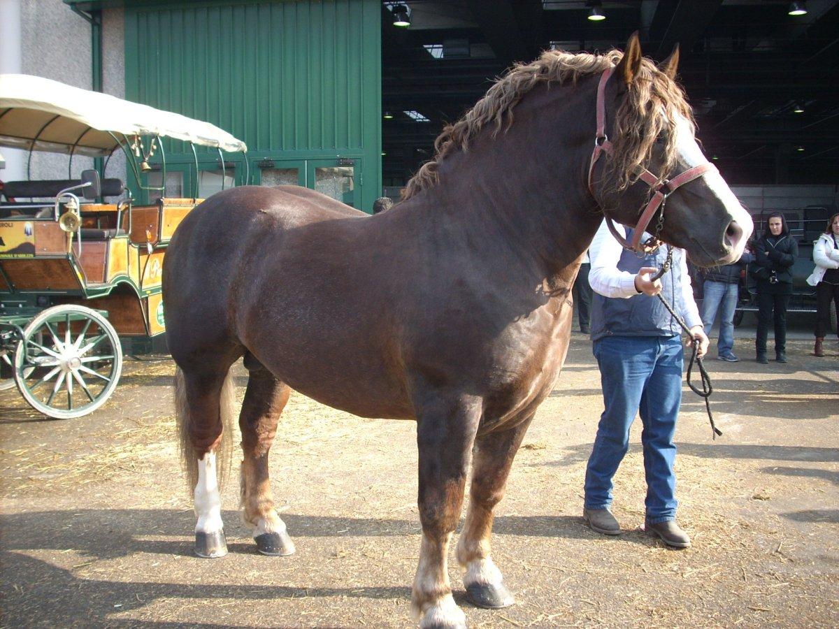 Cavallo agricolo italiano 66