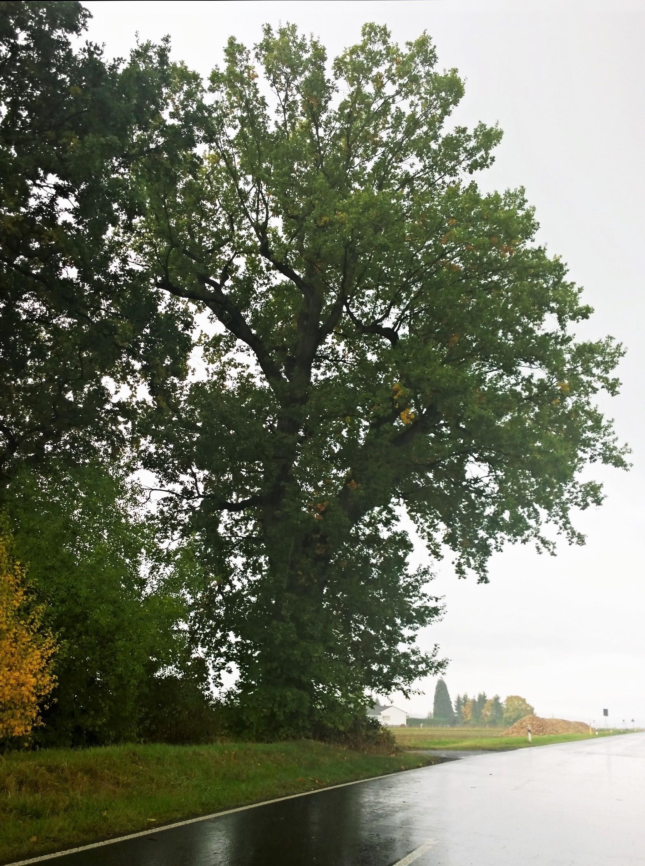 Gemeinsame Datei:Zigeuner Eiche (Groß-Umstadt Richen) Naturdenkmal.jpg @SK_74