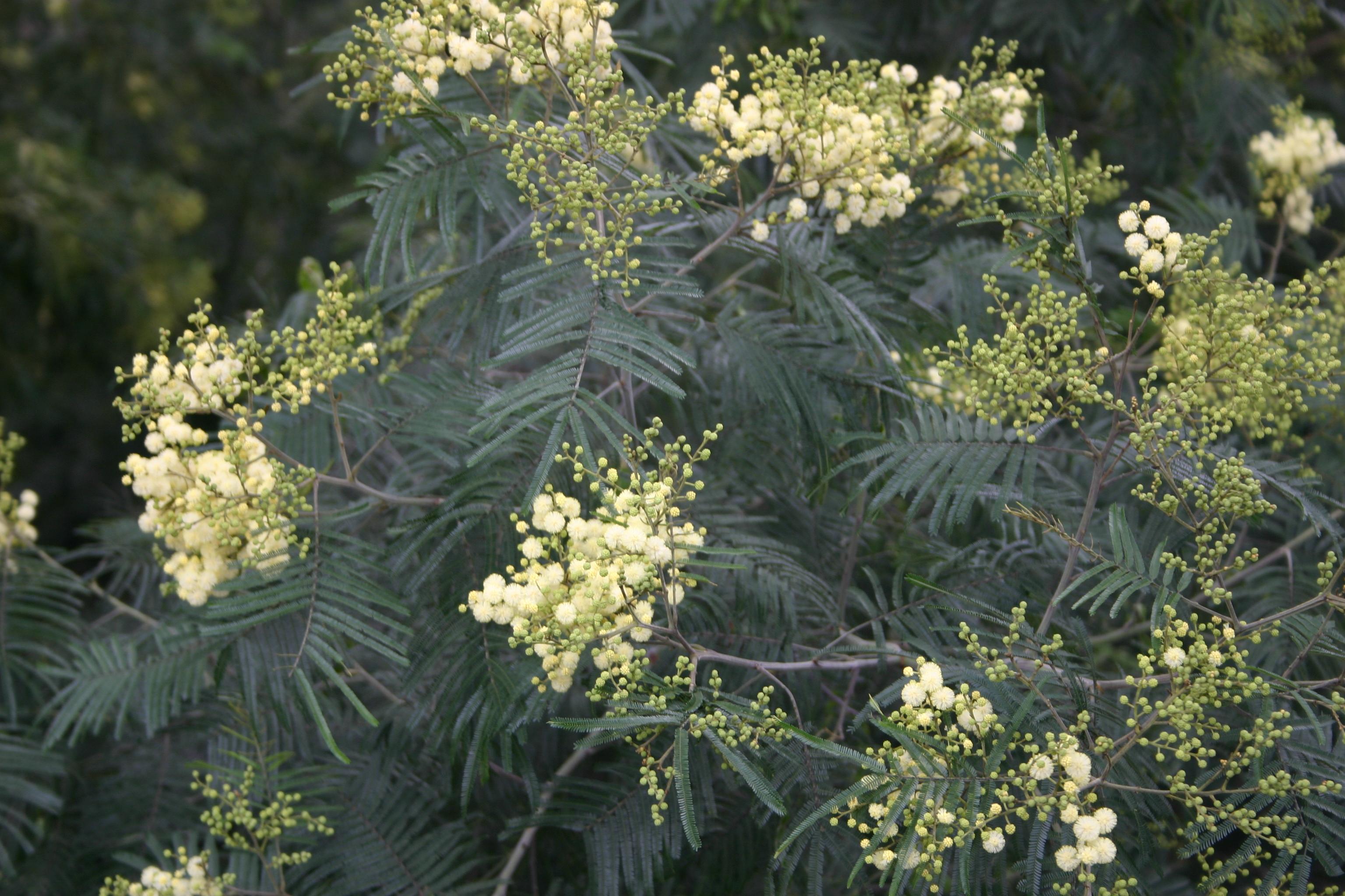 File Acacia mimosa - Madeira - IMG 0306.jpg - Wikimedia Commons c52d06b9fc