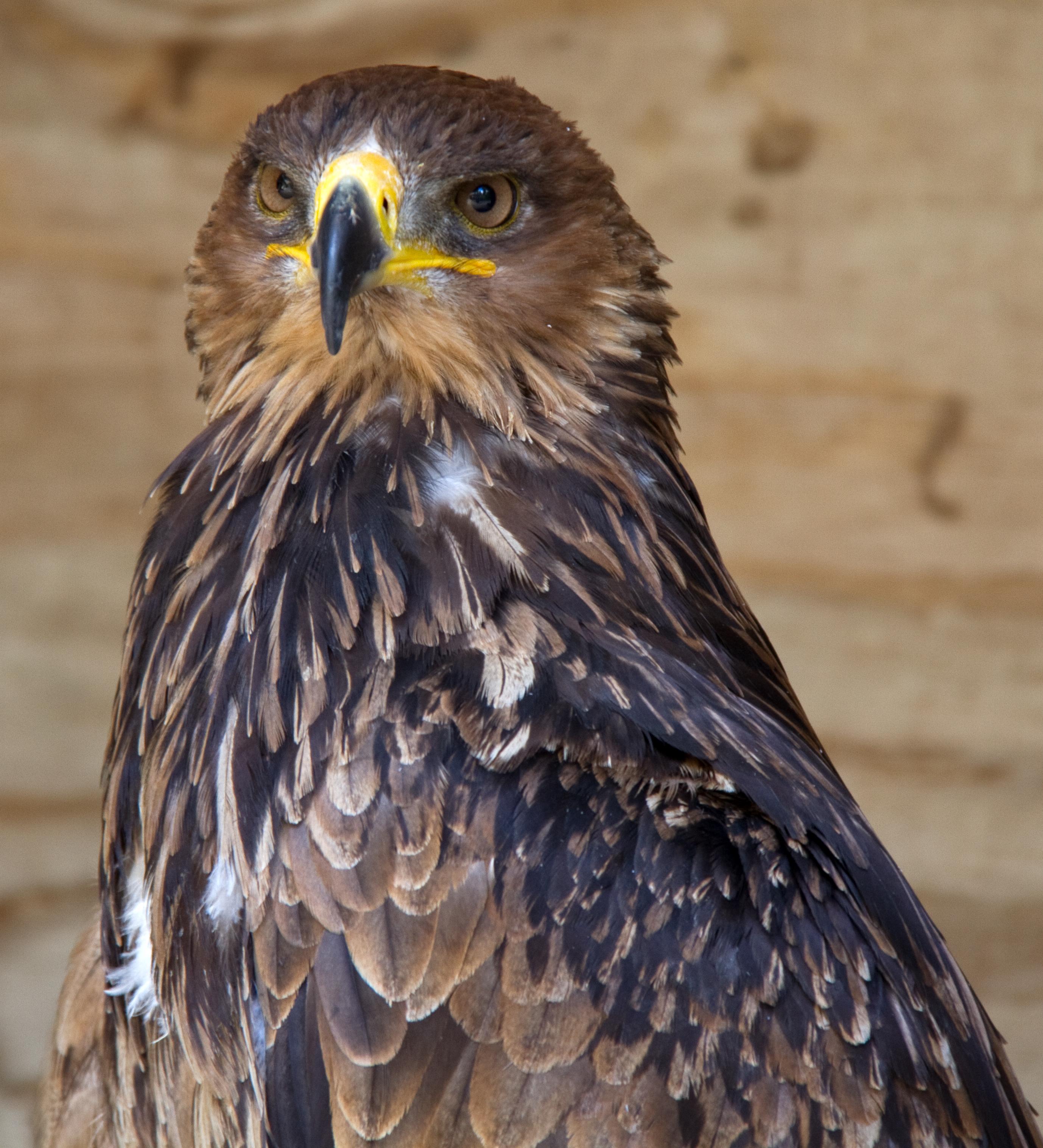 File African Tawny Eagle 6022440862 Jpg Wikimedia Commons