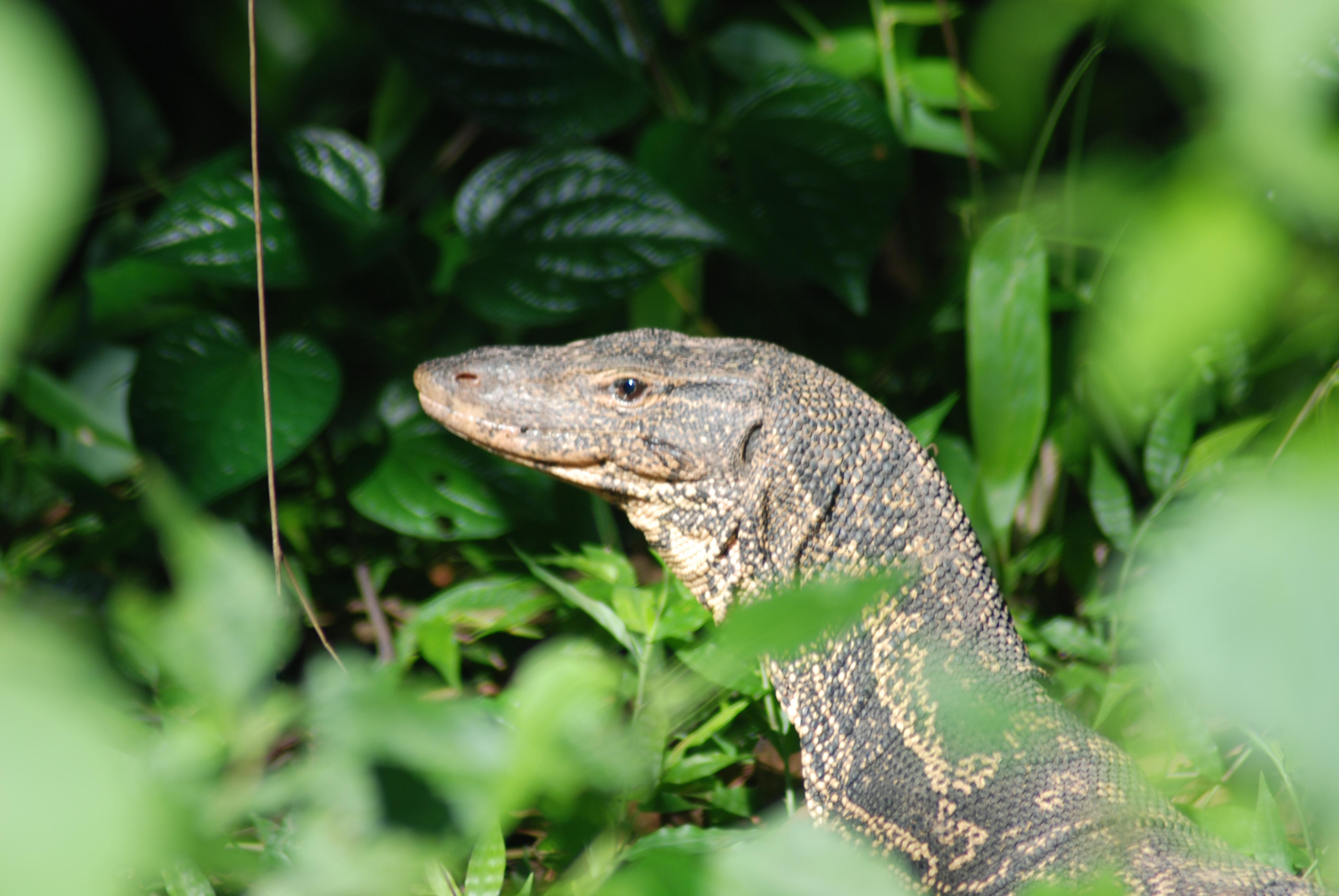 Monitor Lizard Wikiwand