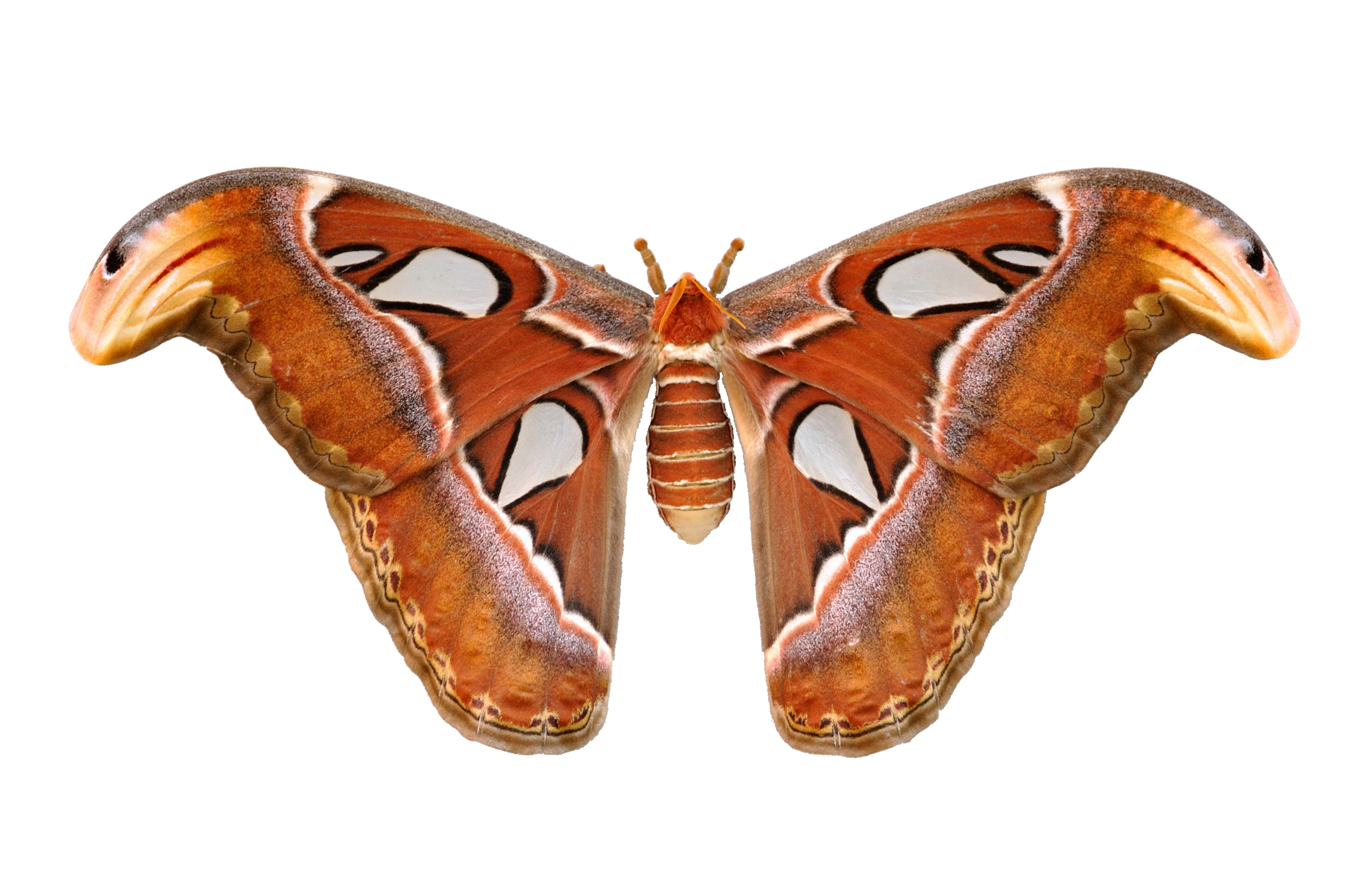 Attacus atlas  Wikispecies