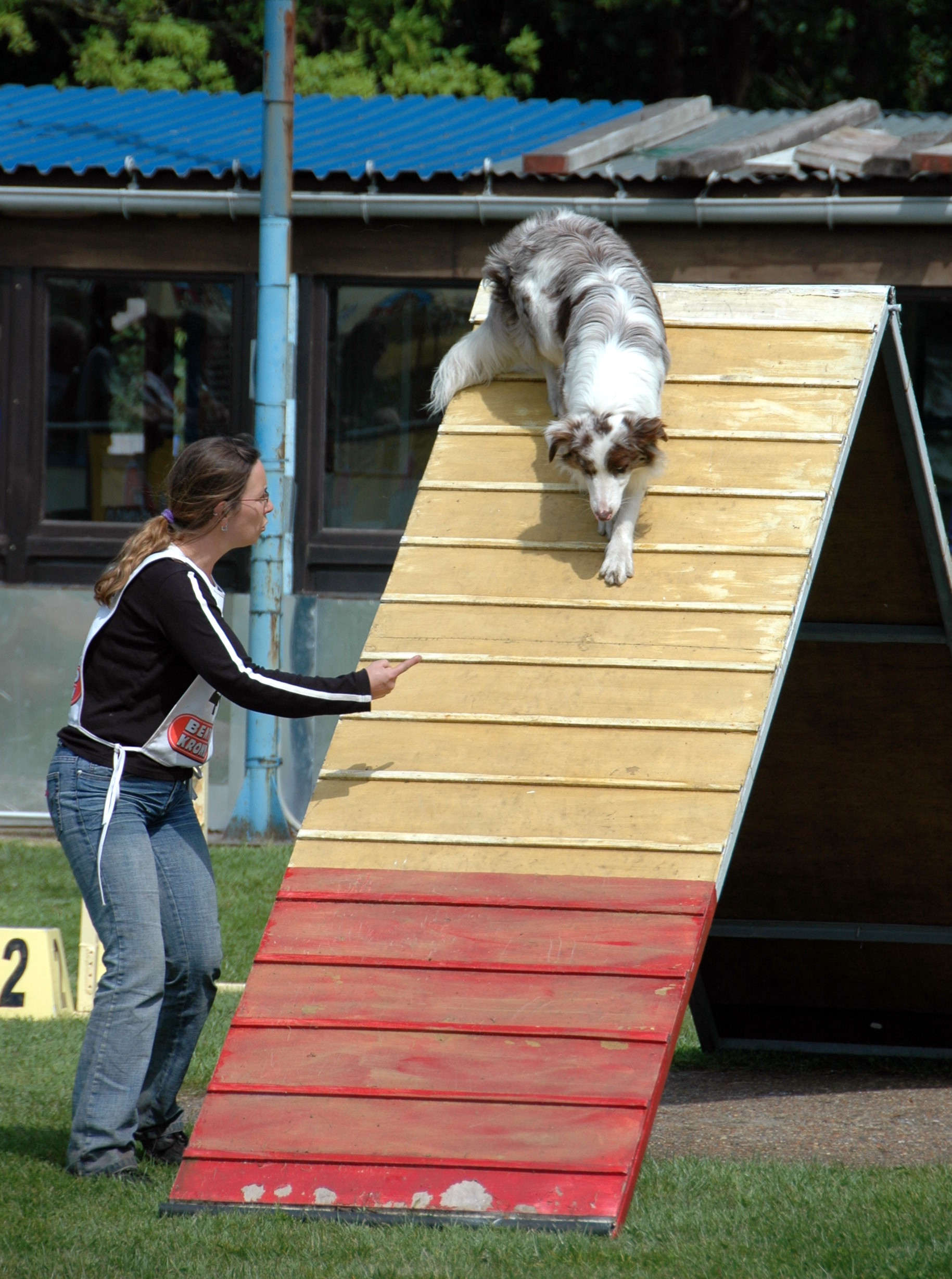 File:Australian Shepherd red-merle agility A-frame.jpg - Wikimedia ...
