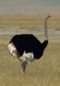 Avestruz (macho)