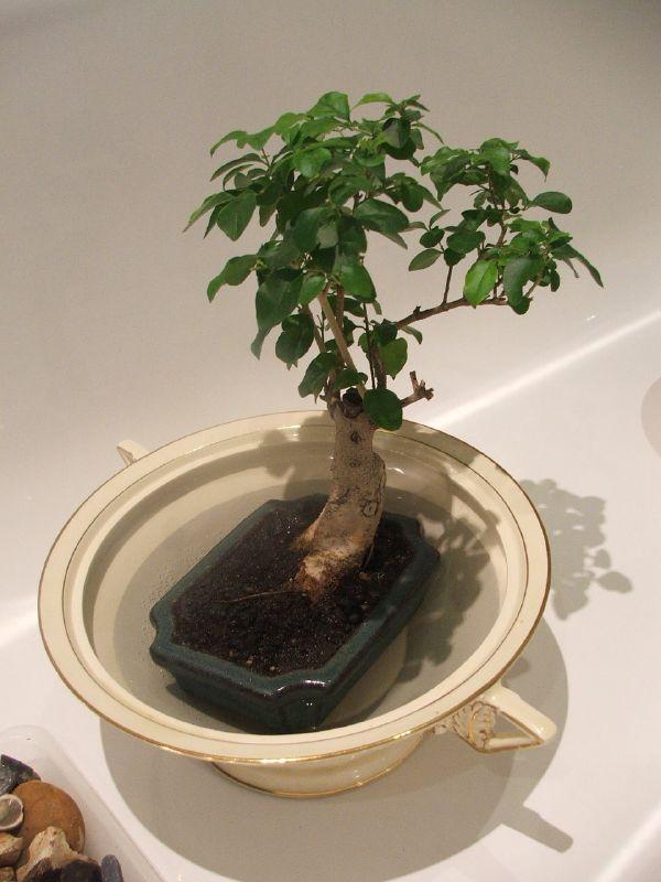 File Bathtime For Privet Bonsai Jpg Wikimedia Commons