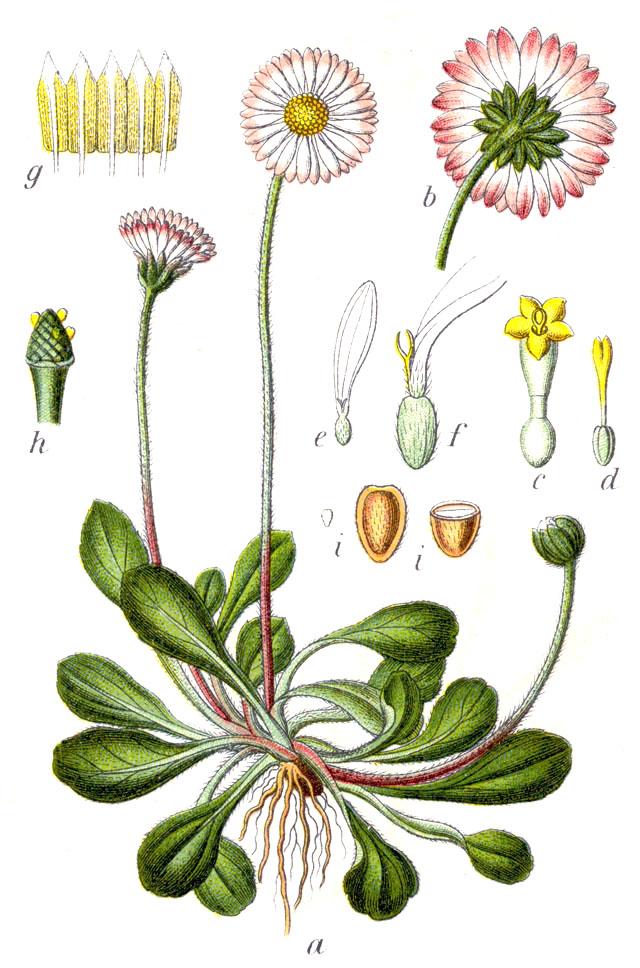 Gänseblümchen – Wikipedia