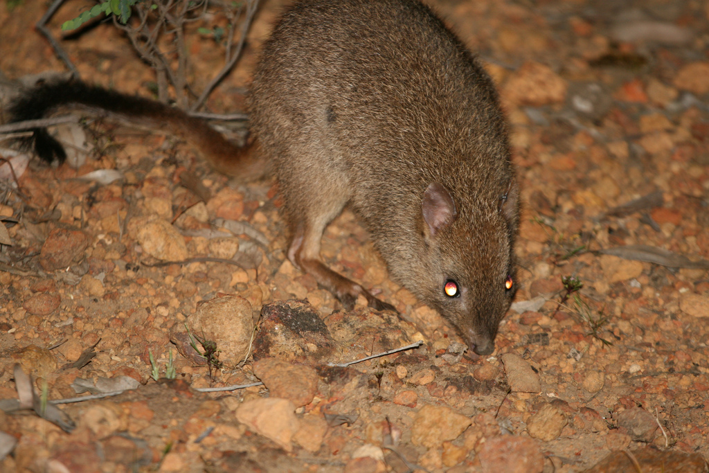 https://upload.wikimedia.org/wikipedia/commons/0/04/Bettongia_penicillata_%28Woylie%291.jpg