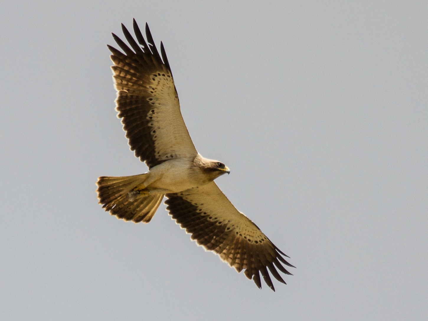 Booted Eagle In Flight, #Eagle