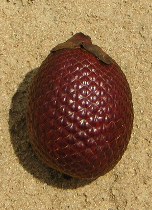 http://upload.wikimedia.org/wikipedia/commons/0/04/Buriti_frucht.JPG