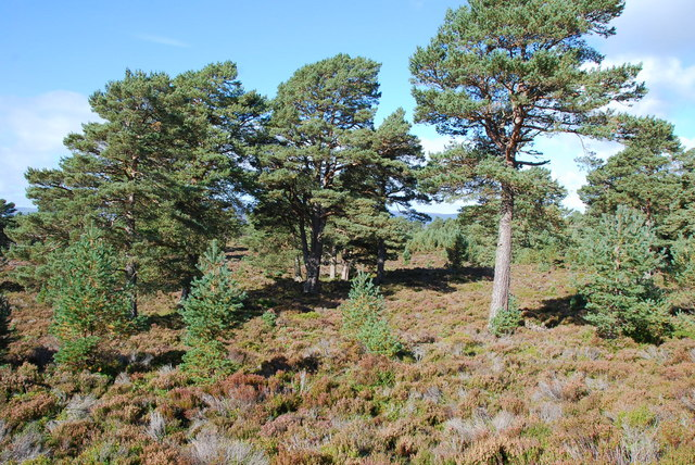 Caledonian pine forest - geograph.org.uk - 1011064