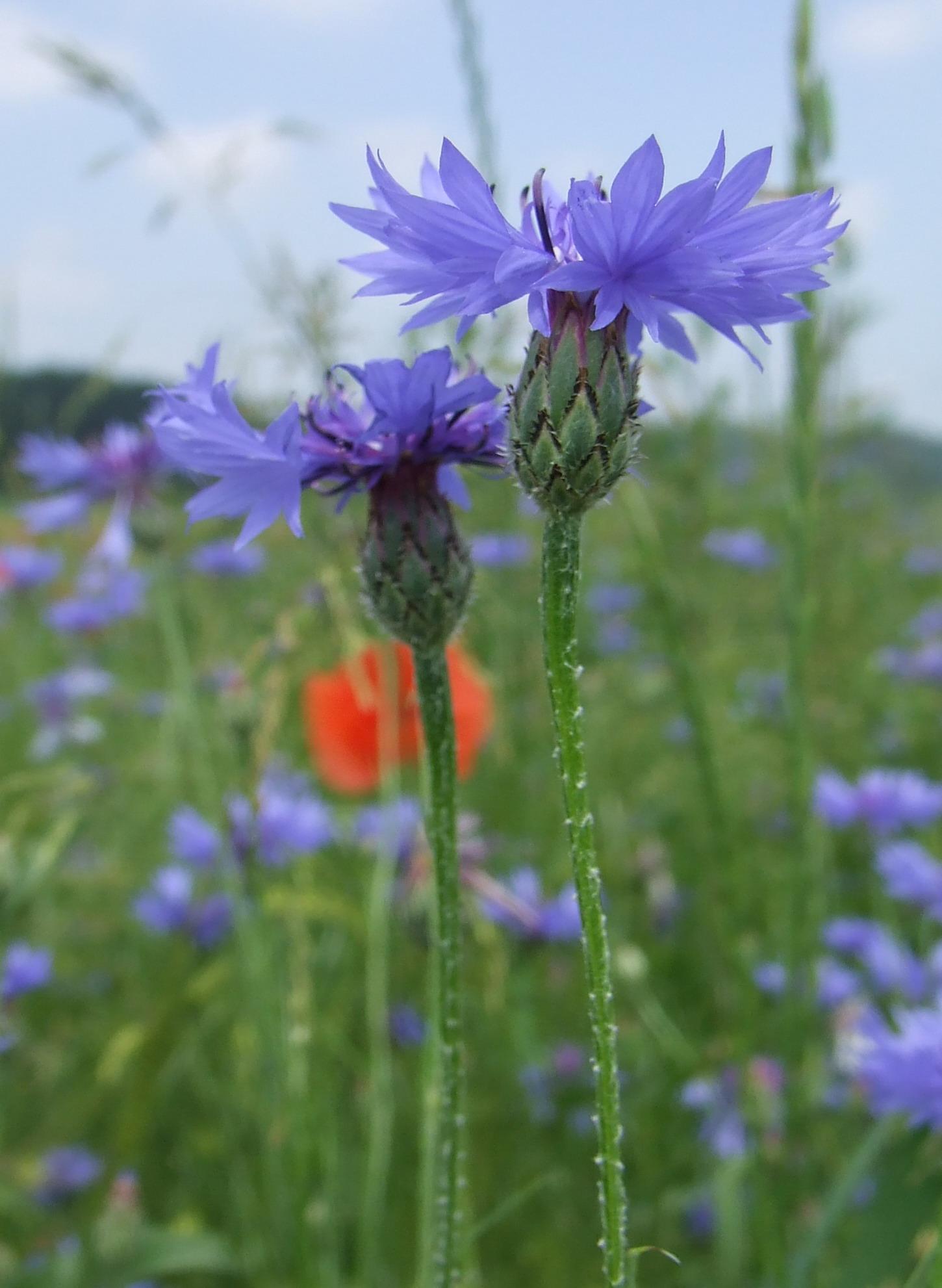 Centaurea Cyanus Wikipedia La Enciclopedia Libre
