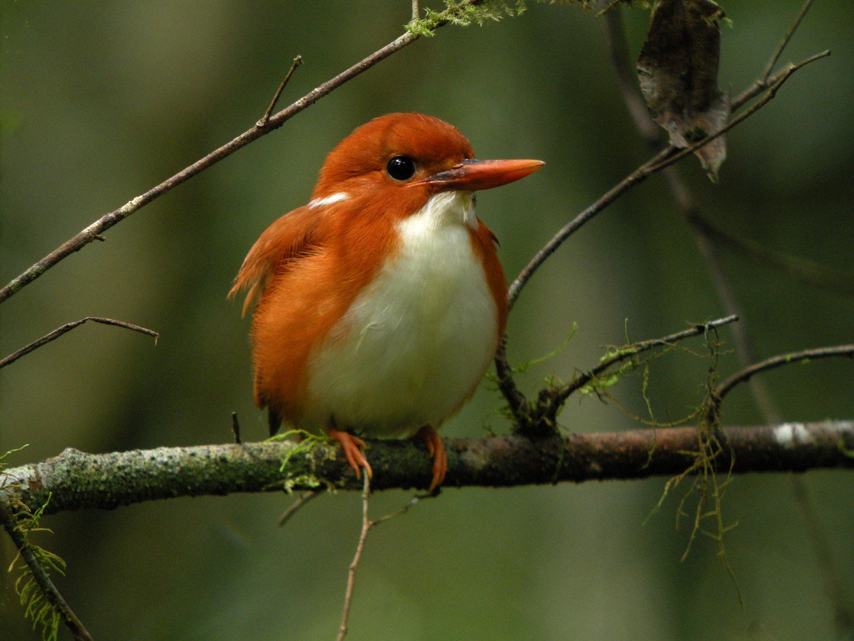 Madagascan pygmy kingfisher - Wikipedia