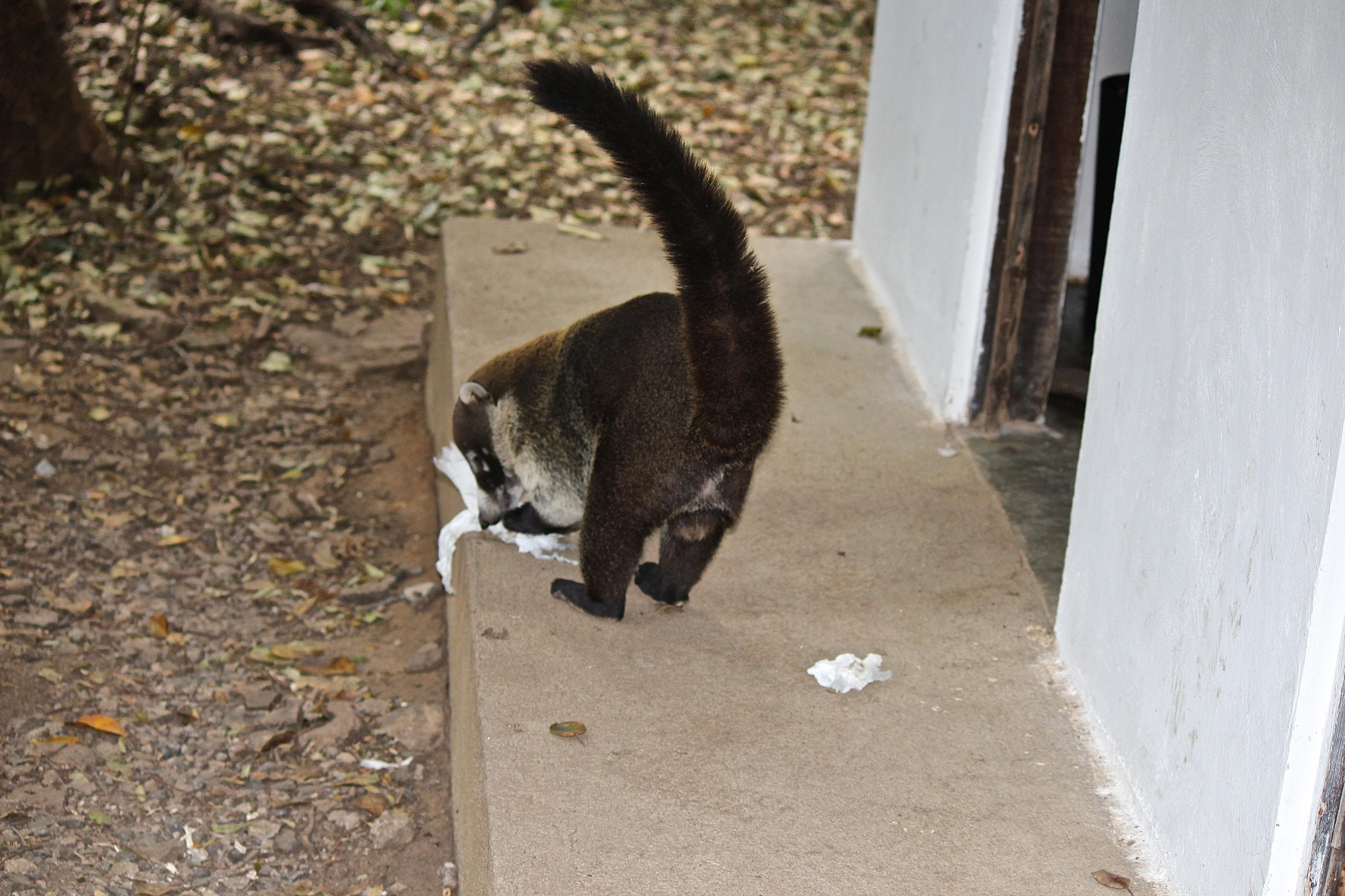 File Coati Mundi Eating Used Toilet Paper 24025109733 Jpg