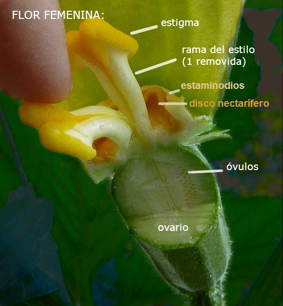 Cucurbita pepo, C. maxima, C. moschata, C. argyrosperma - Wikiwand