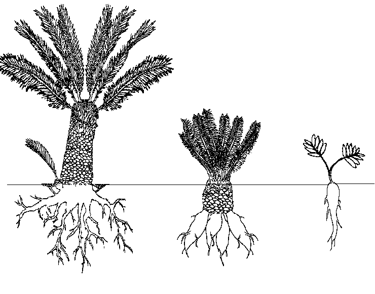 A network of plant plant roots. CC-SA3.0 retrieved from https://commons.wikimedia.org/wiki/File:Cycads_root.png