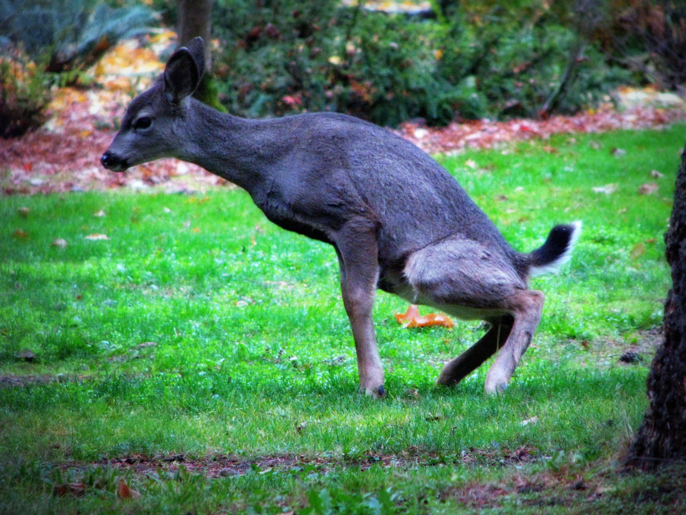 Myere blue deer pee long pussy