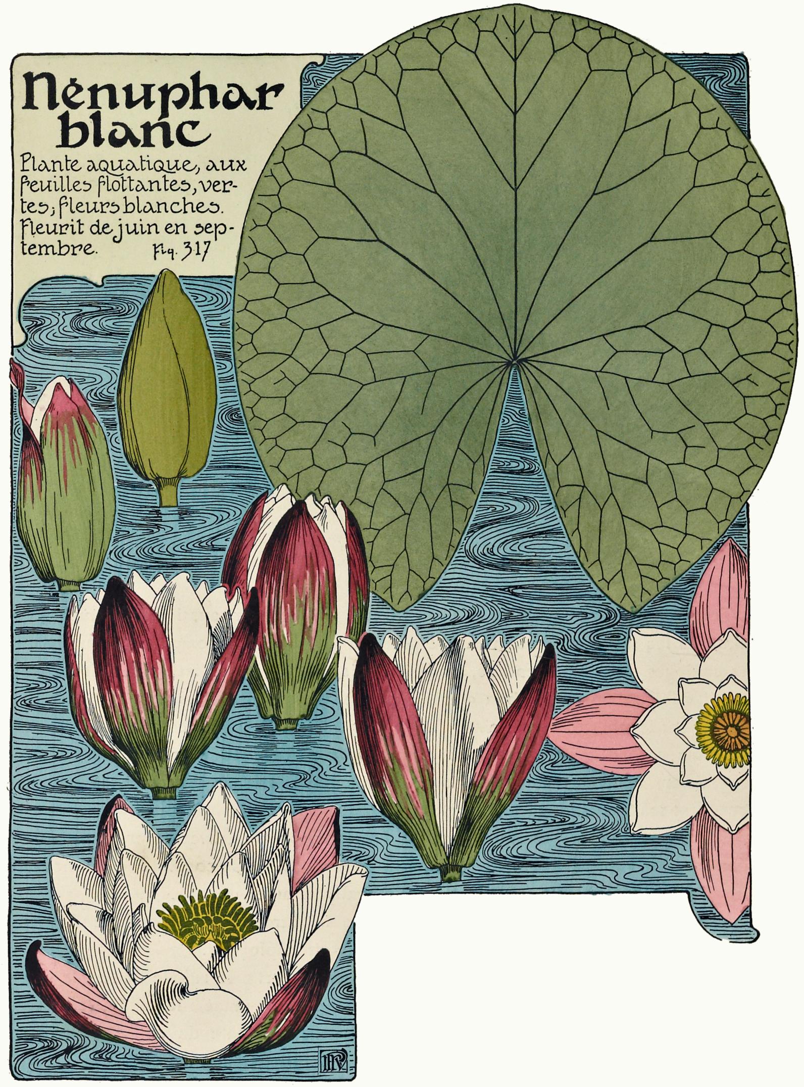 Fileetude De La Plante P266 Fig317 Nénuphar Blancjpg