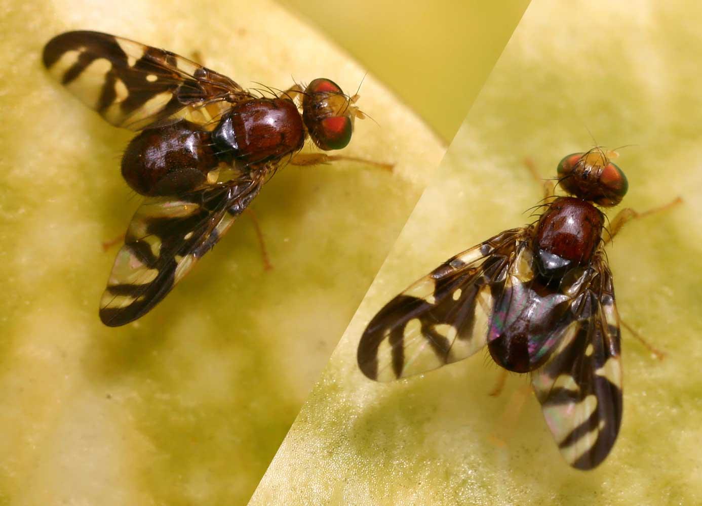 Bohrfliegen wikipedia for Fliegen lebensdauer