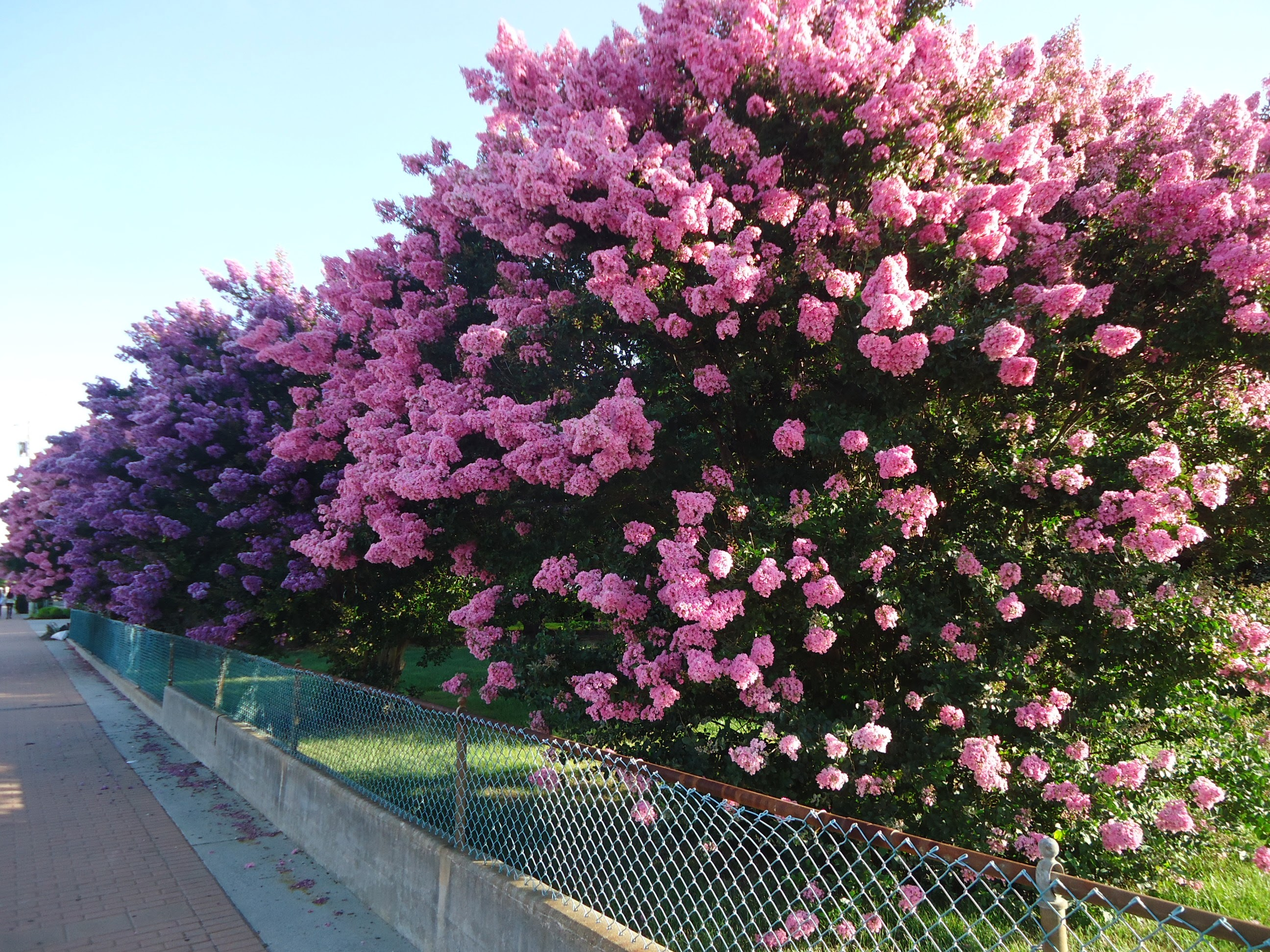 Fileflowering Bushes In Wildwood New Jersey Early Augustg