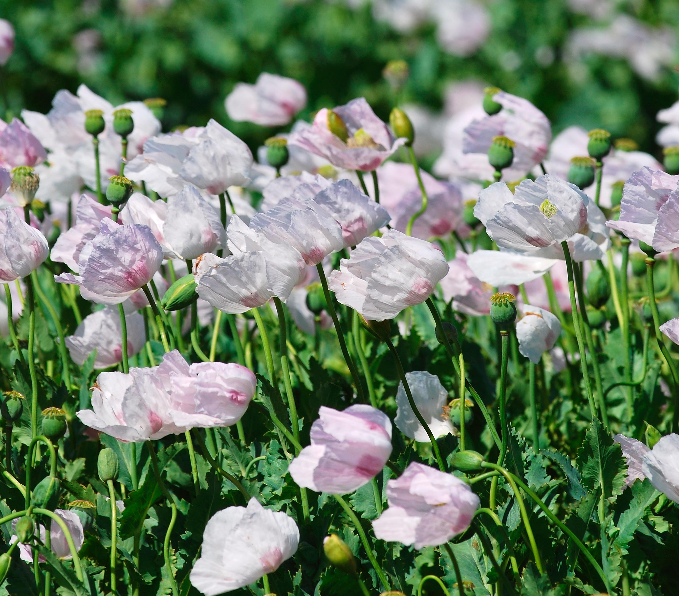 Fileflowering poppies tasmaniag wikimedia commons fileflowering poppies tasmaniag mightylinksfo