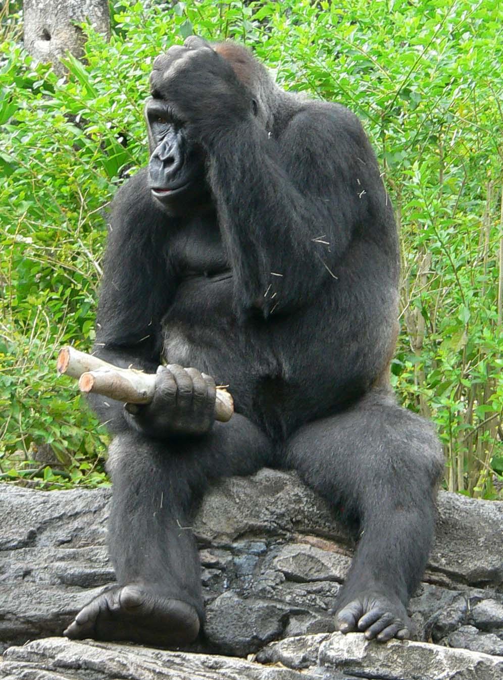 File:Gorilla gorilla gorilla4.jpg - Wikimedia Commons