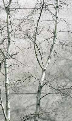 alt=Description de l'image Gray birch against gray sky.jpg.