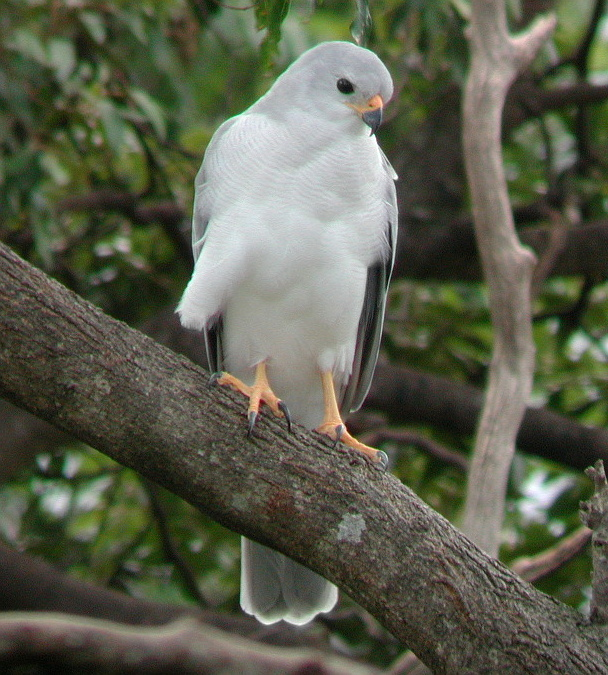 http://upload.wikimedia.org/wikipedia/commons/0/04/Grey_Goshawk_Dayboro_Apr02.JPG