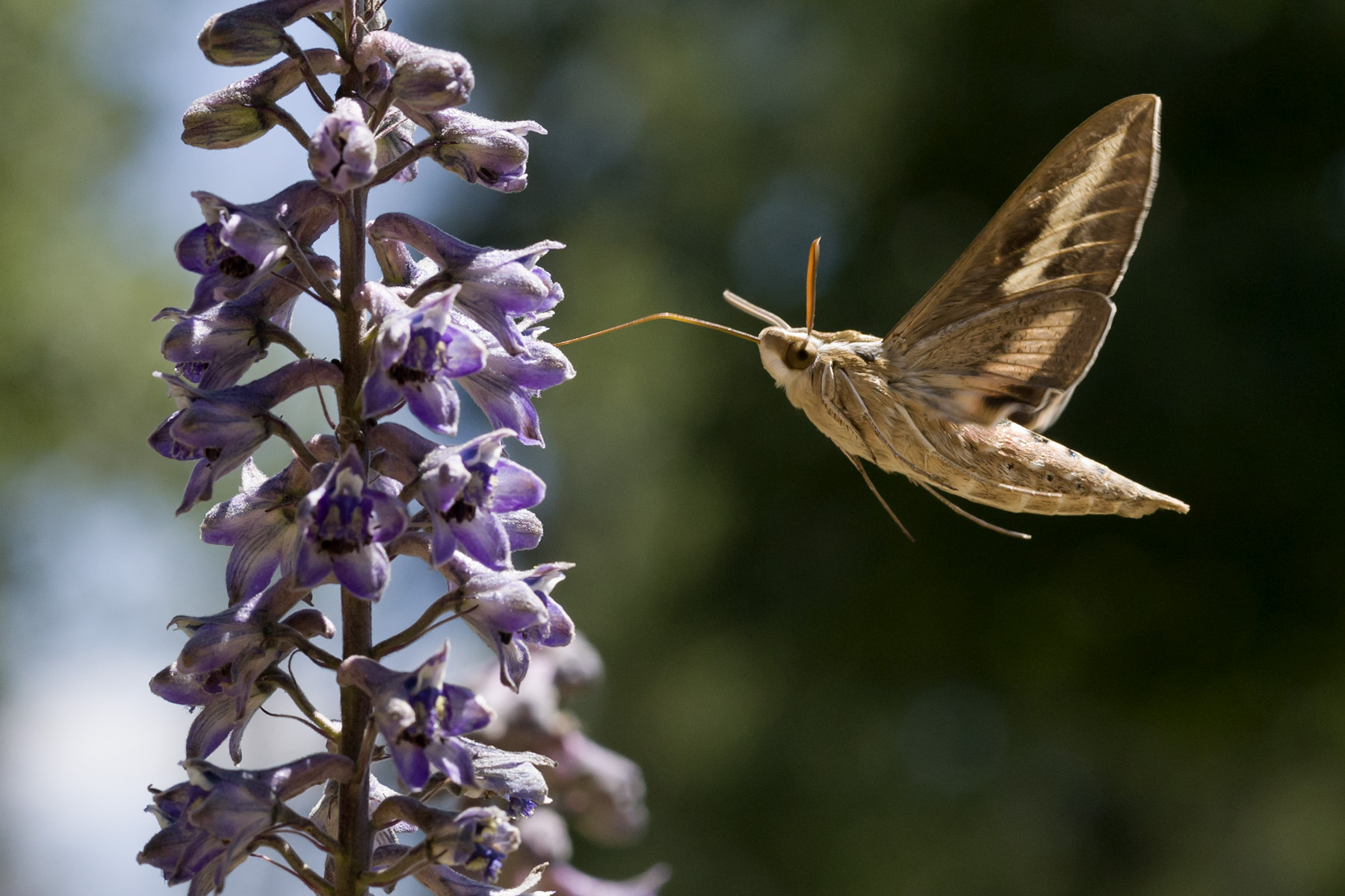 A white-lined sphinx moth (Hyles lineata) pollinating a New Mexican larkspur.