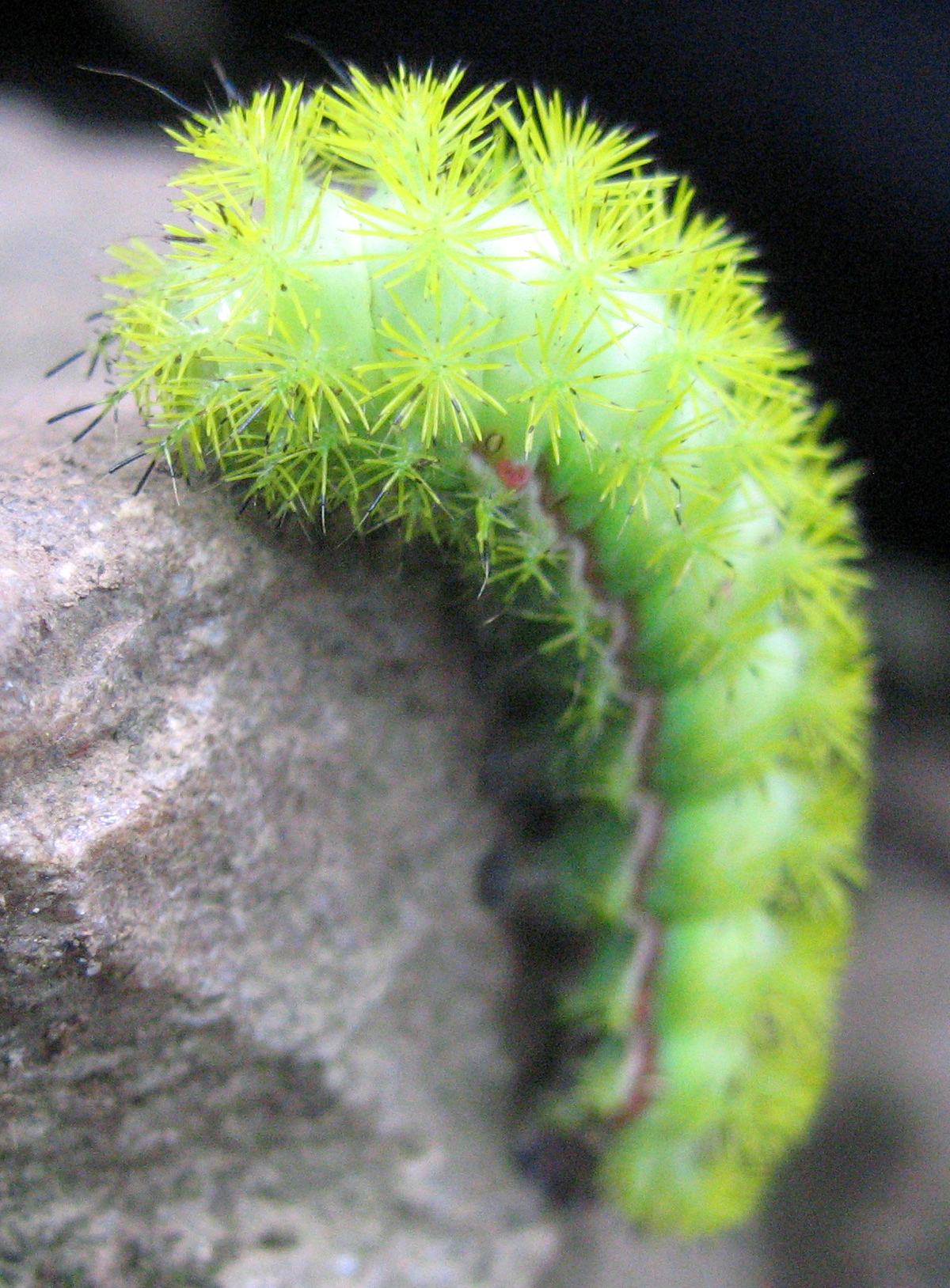 Description Io moth caterpillar.png