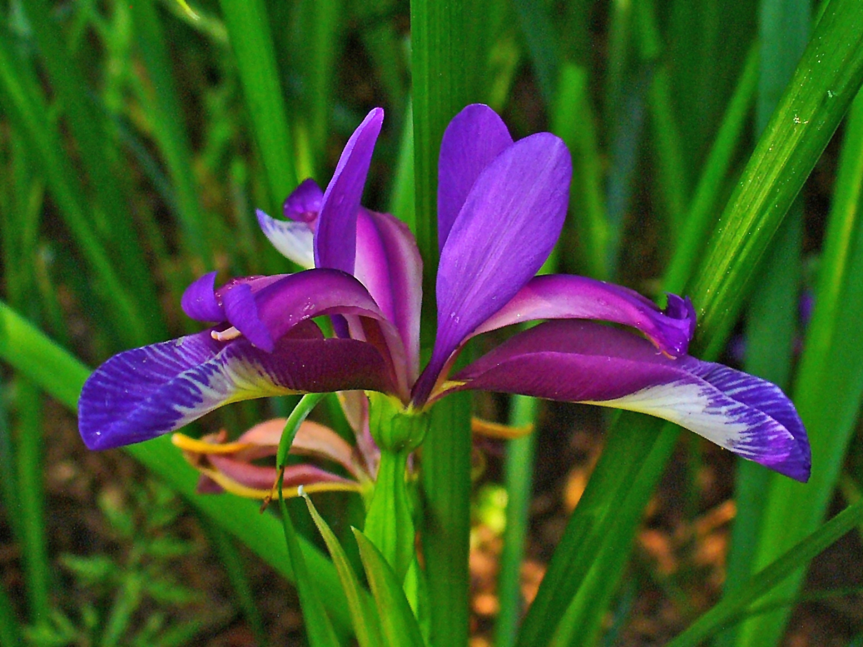 File:Iris graminea 003.JPG - Wikimedia Commons
