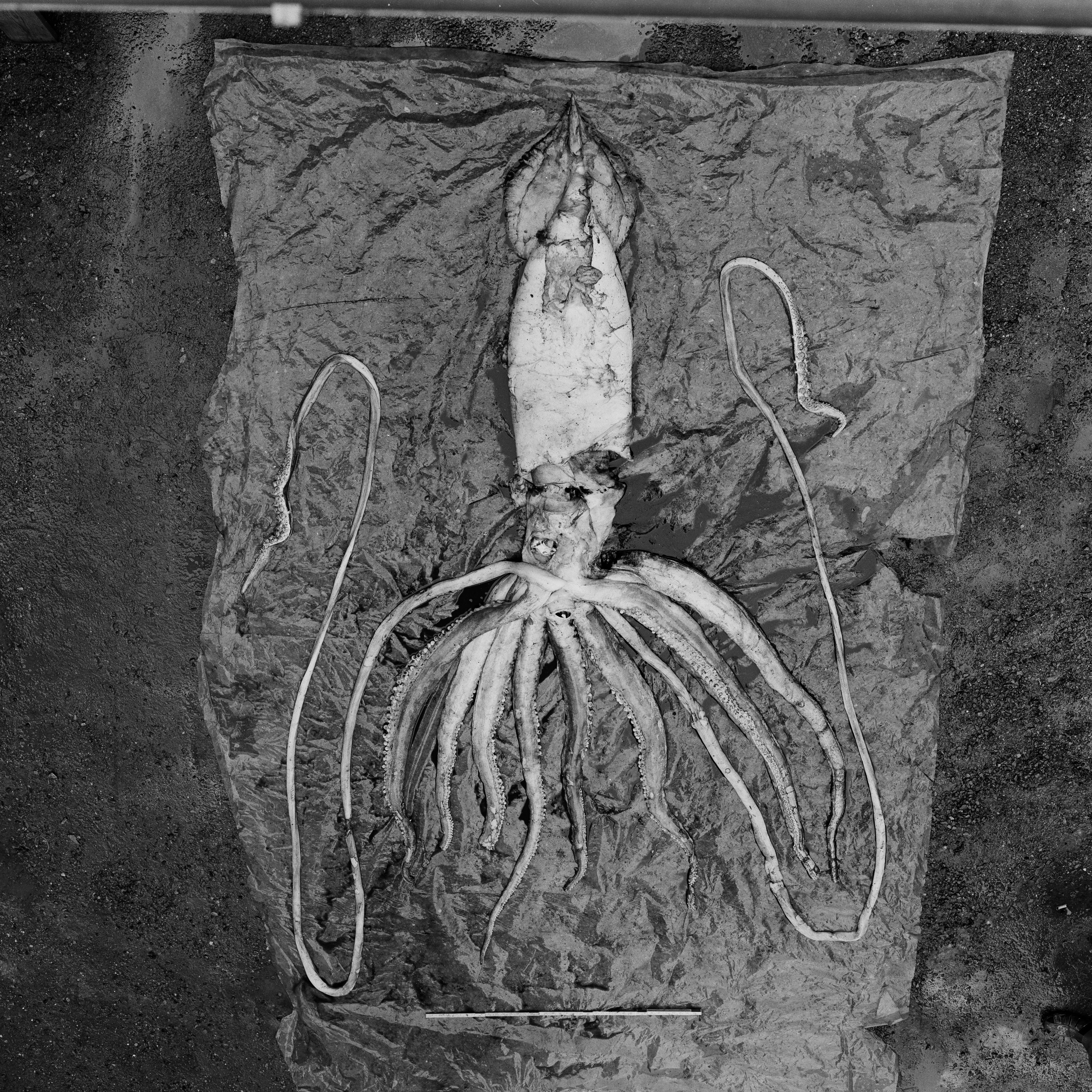 essay on giant squid