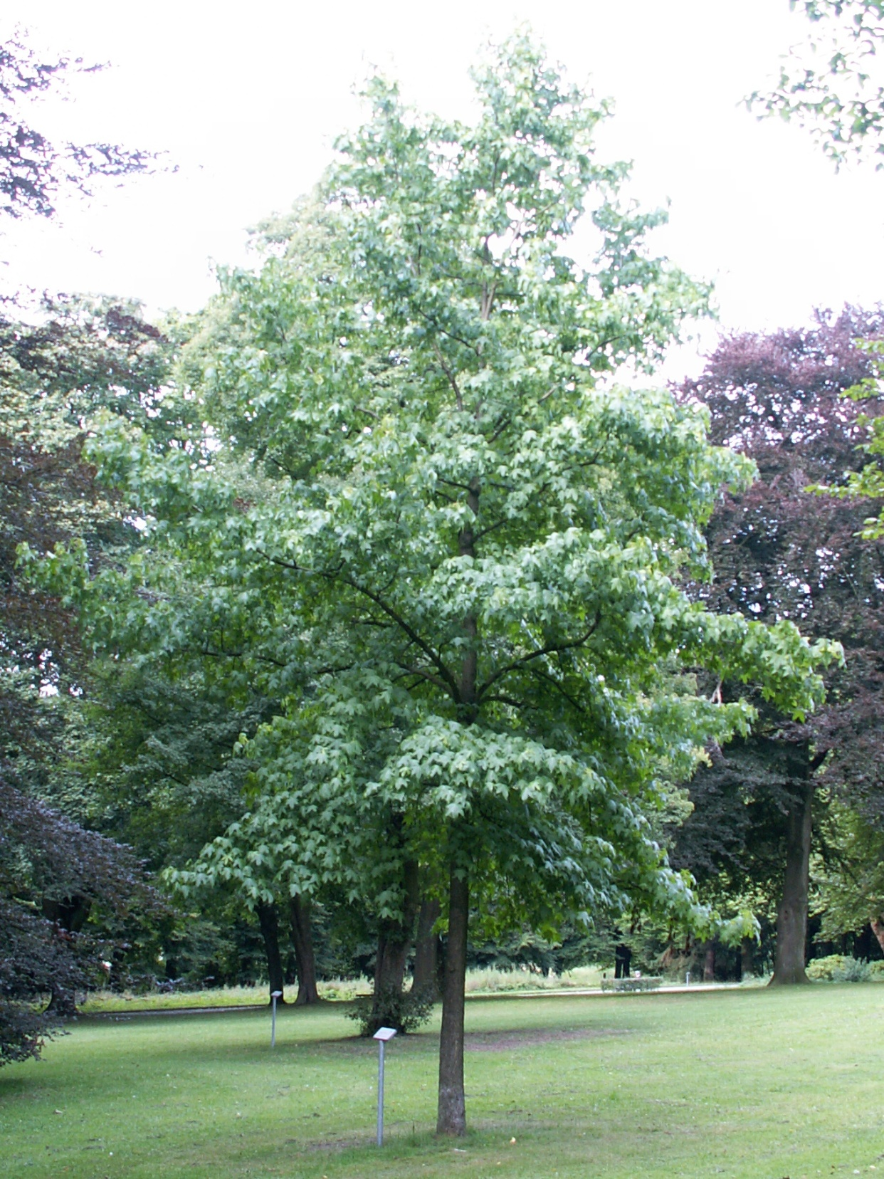 http://upload.wikimedia.org/wikipedia/commons/0/04/Liquidambar_styraciflua_tree_august.jpg