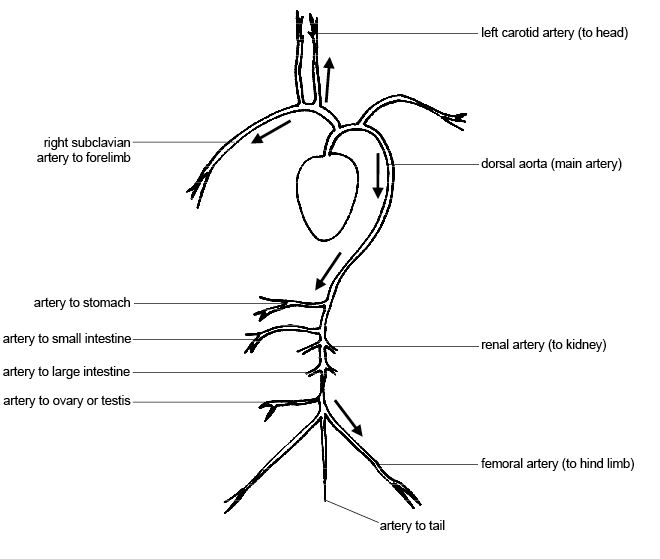 anatomy and physiology of animals  cardiovascular system  blood circulation