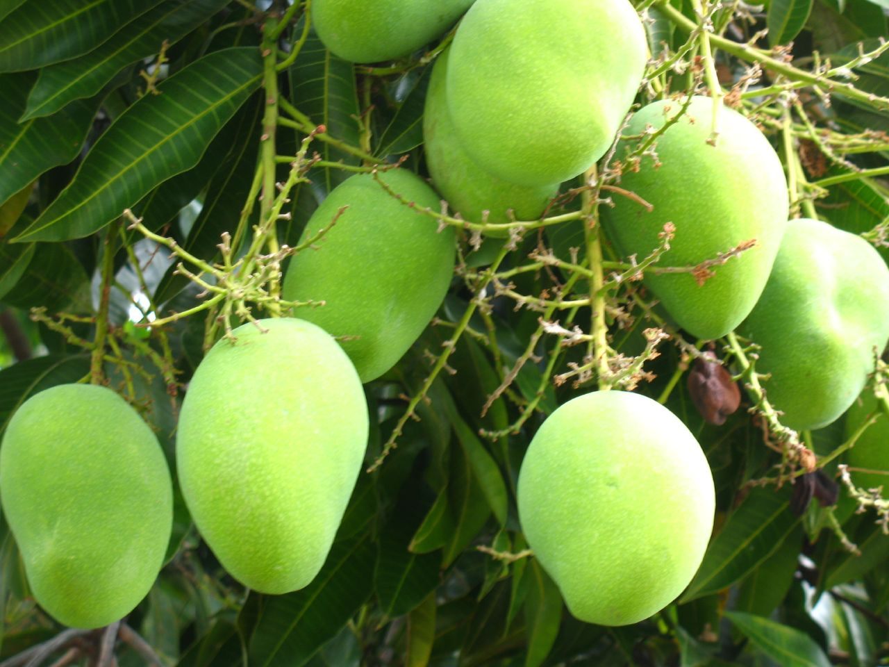 importance of mango tree Mangos are surprisingly tricky fruits there's a long seed right in the middle,  which can make figuring out how to eat a mango something of a.