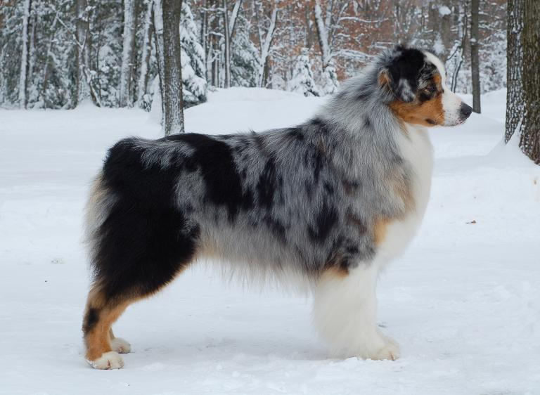 Australian Shepherd Dog Near Doncaster