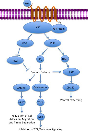 Description noncanonical wnt calcium pathway