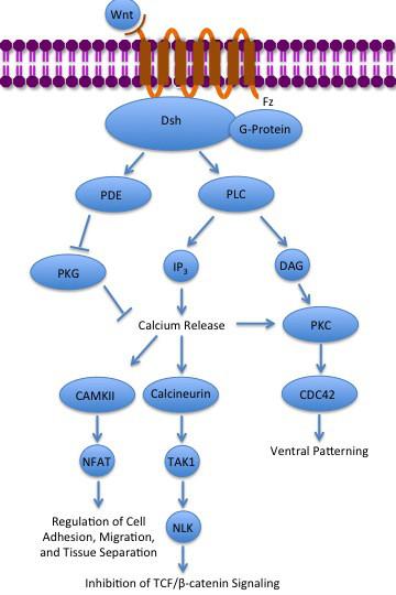 Description noncanonical wnt calcium pathway