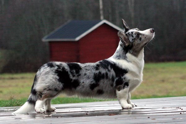 Beautiful Cardigan Welsh Corgi dog