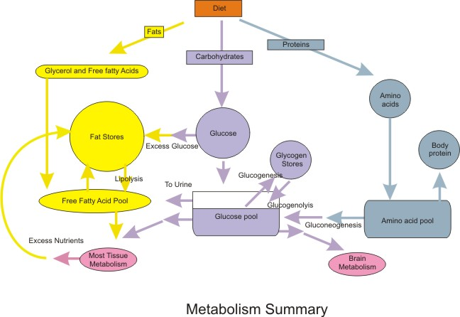 http://upload.wikimedia.org/wikipedia/commons/0/04/Nutrition_Metabolic_Summary.jpg