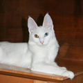 Odd-eyed whiteTurkish Angora.jpg