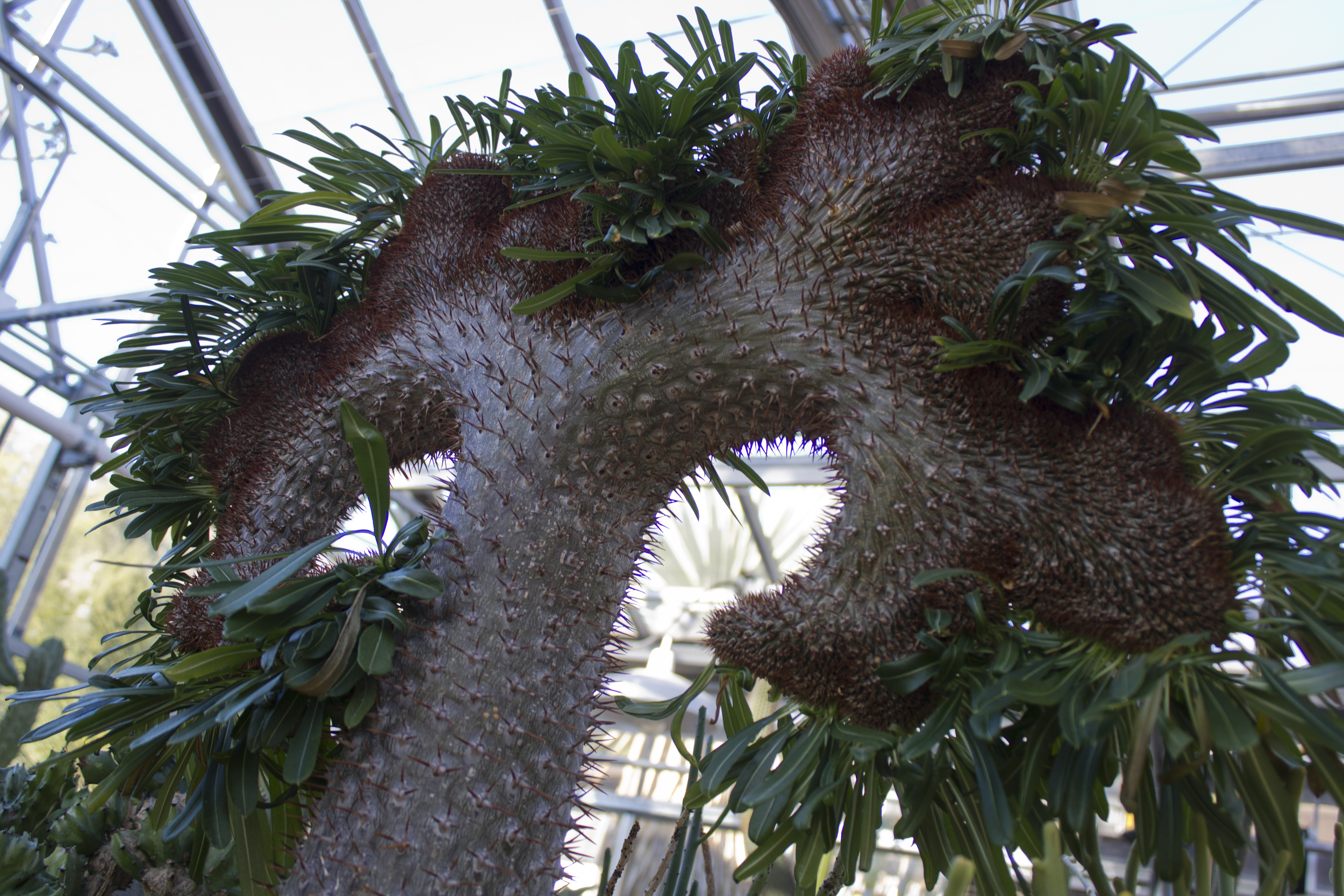 Pachypodium  Wikipedia