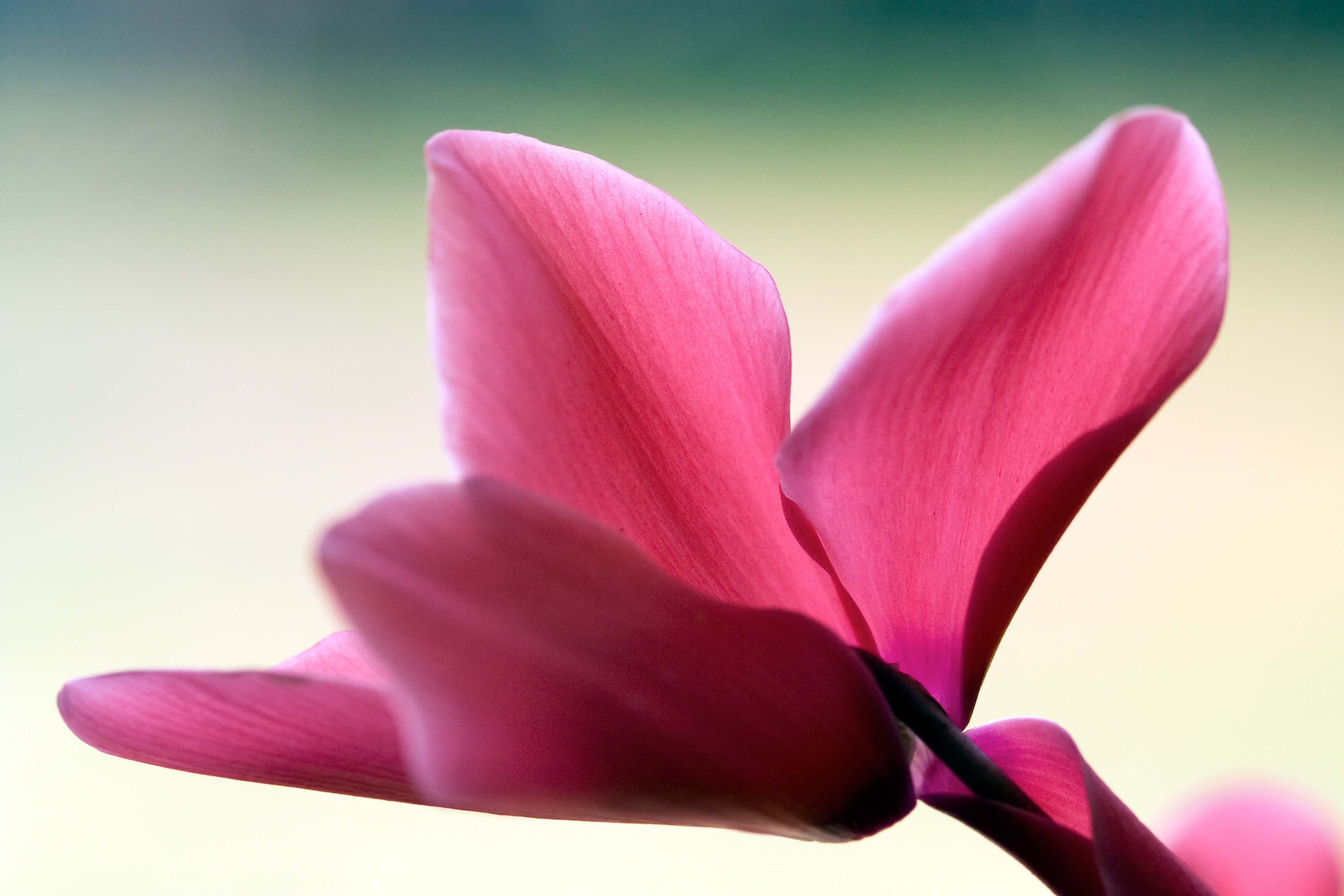 File pink cyclamen wikimedia commons for Cura ciclamino