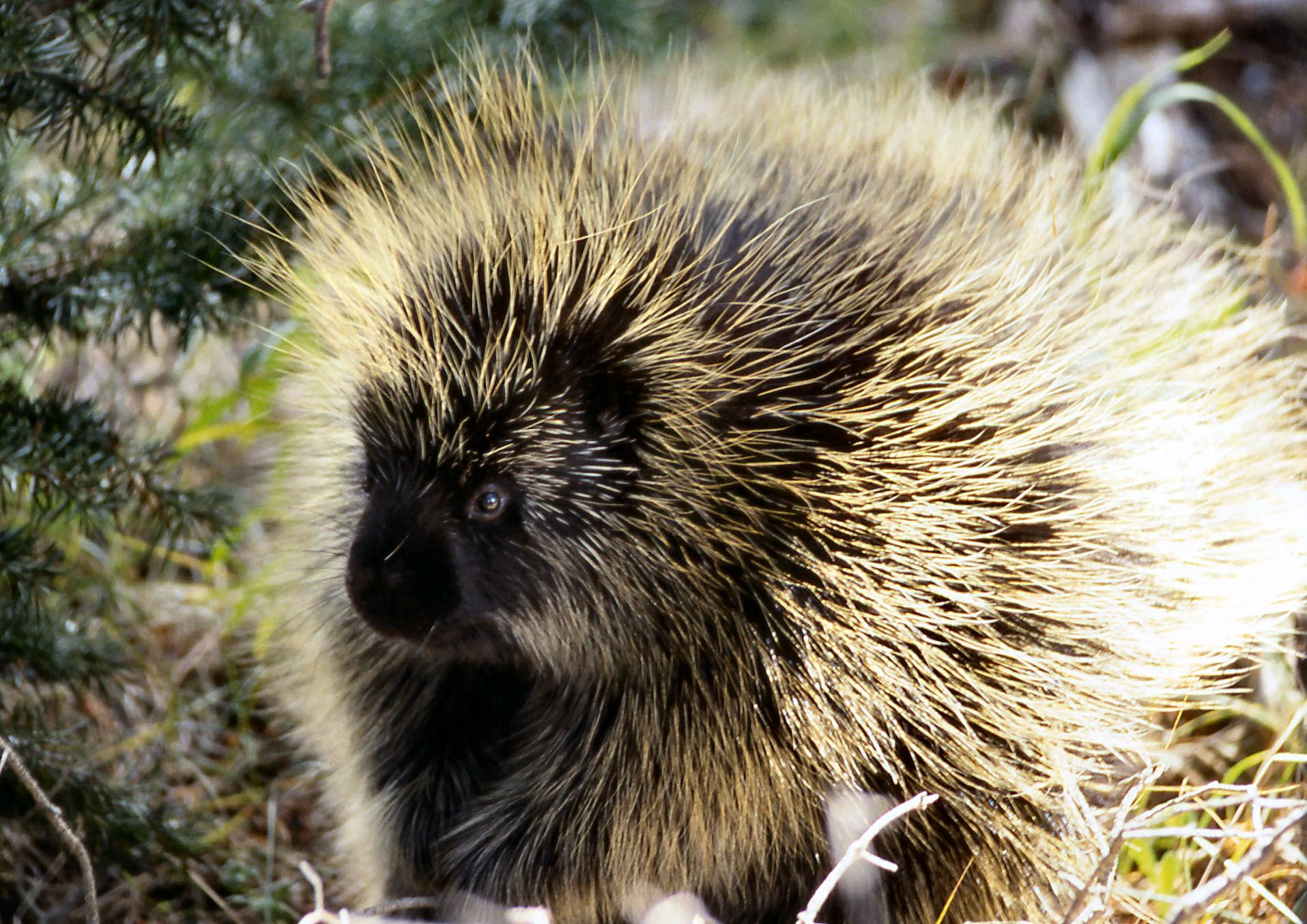 File:Porcupine NPS11952.jpg - Wikimedia Commons  File:Porcupine ...